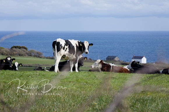 Scenic Driving Tour around outskirts of Kinsale - cows eating green grass with the very blue Atlantic Ocean just behind them.