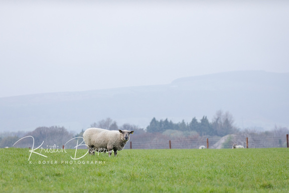 Sheep - Grazing the hillsides in Ireland, momma sheep and her babies, eating, sleeping and keeping watch over each other. Family Travel Photography,